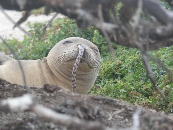 Тюлени с морскими угрями в носу озадачили ученых