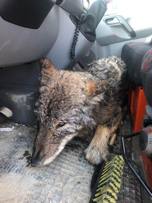Рабочие спасли из ледяной реки собаку, которая оказалась волком