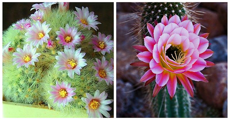 Неповторимое очарование цветущих кактусов