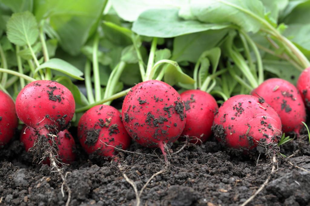 Вот как получить первый урожай редиса уже в апреле