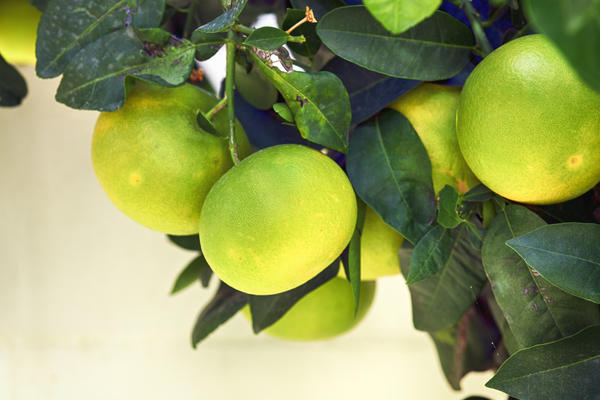 Плоды комнатного грейпфрута получаются более мелкими, но не менее вкусными