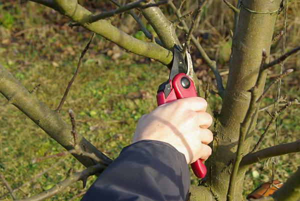 Обрезка яблони осенью: советы и рекомендации, понятные даже начинающих садоводов