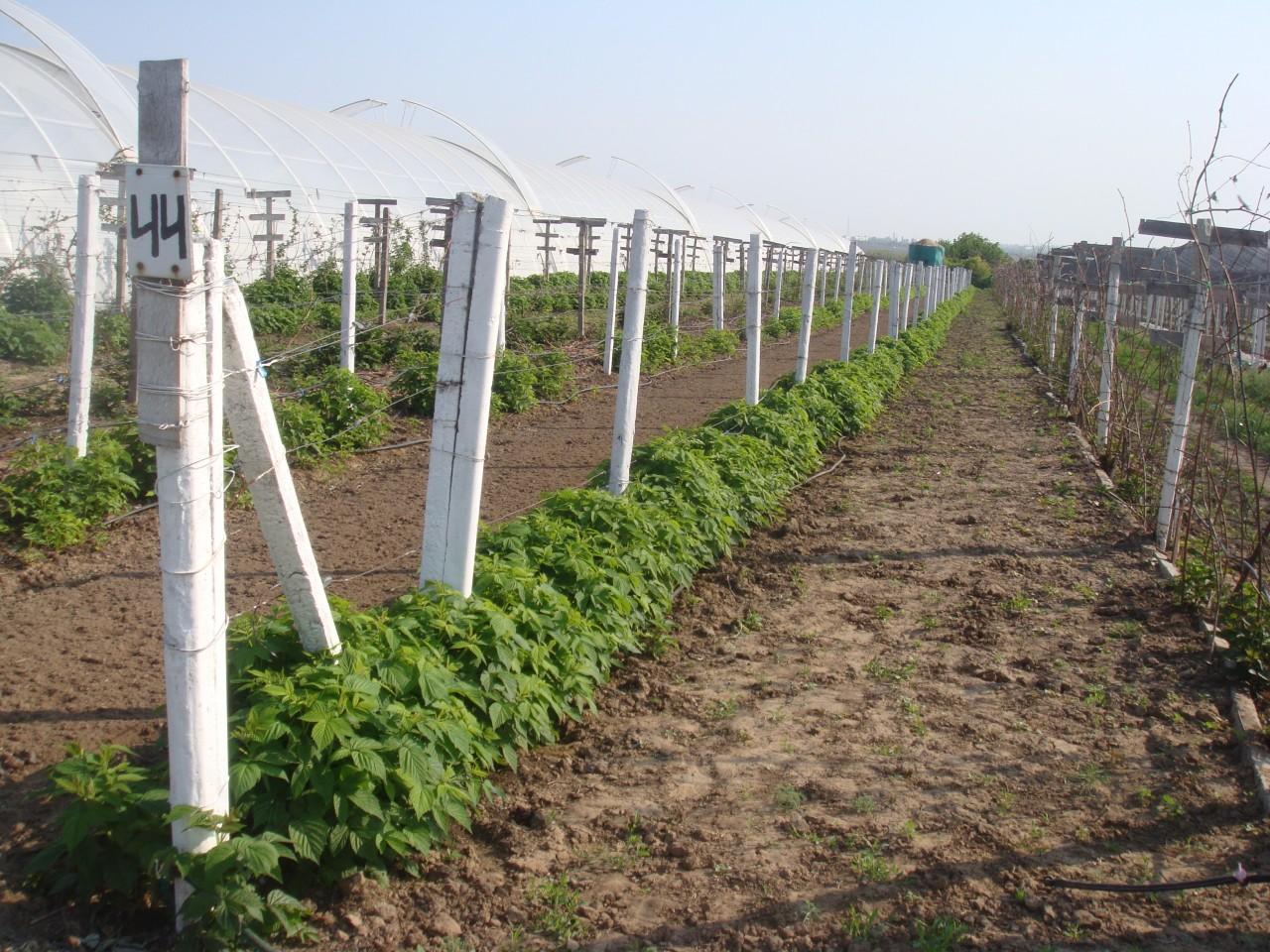 Надо ли копать междурядья на винограднике
