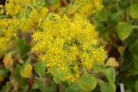 цветение Аихризона рыхлого или распростертого