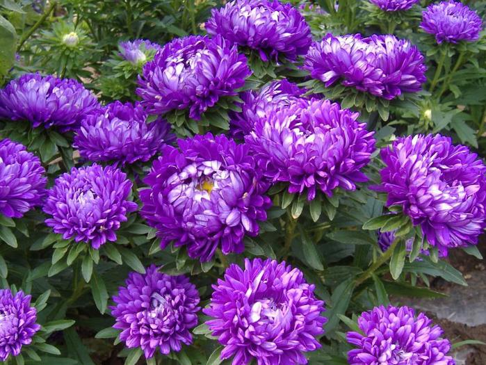 цветы осени 14 (700x525, 570Kb)