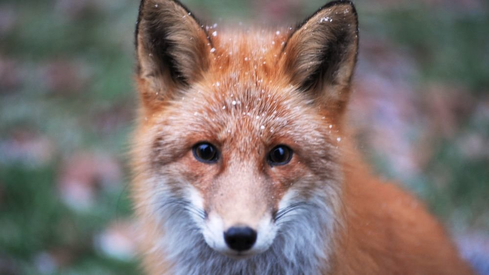Охотясь за грызуном, лисица влезла на дерево - видео