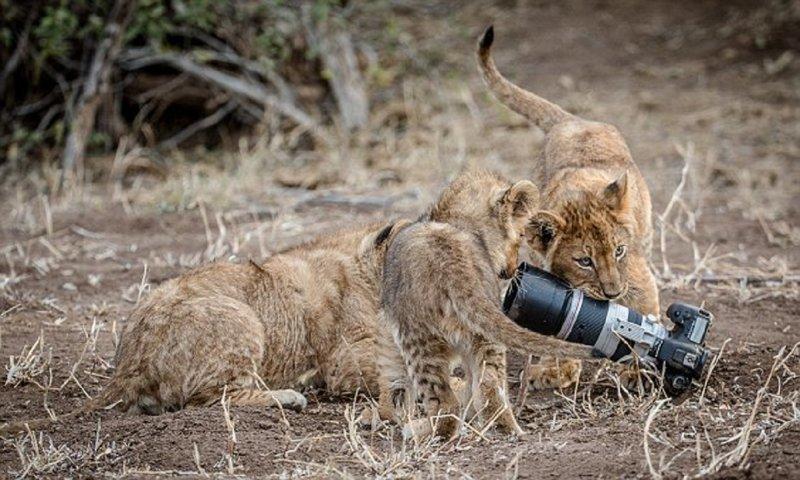 Львица подарила львятам игрушку за $2500