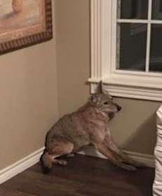 Женщина проснулась ночью от странного шума… Оказывается, к ней в спальню проник койот!
