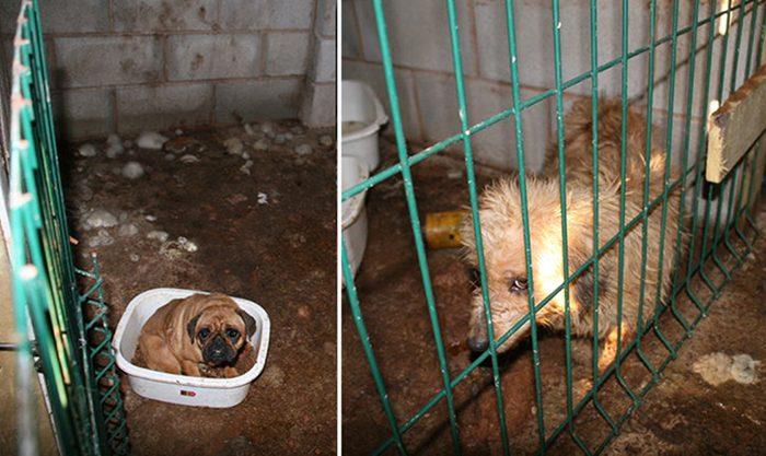 Спасение щенков от недобросовестного заводчика