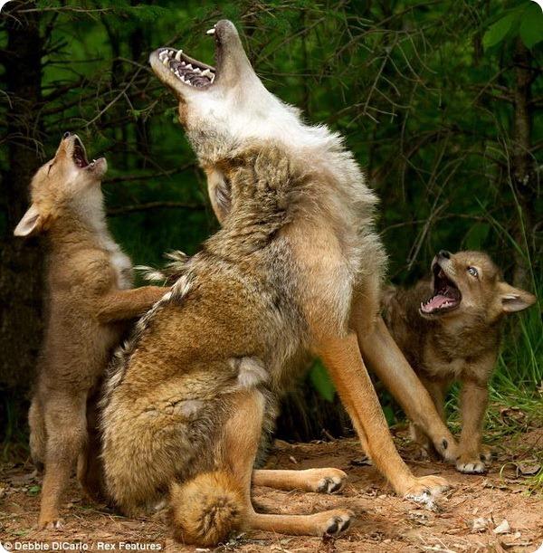 Детеныши койота учатся «петь»