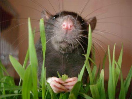 Крысы и алкоголь