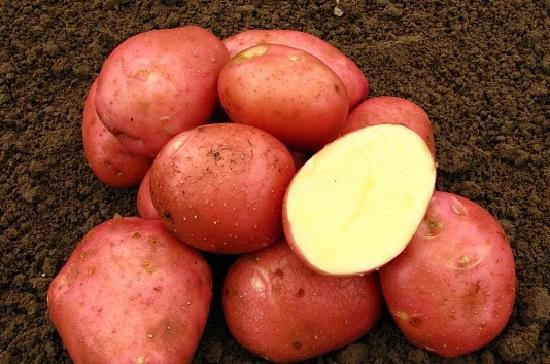Картошку сорта Беллароза не …