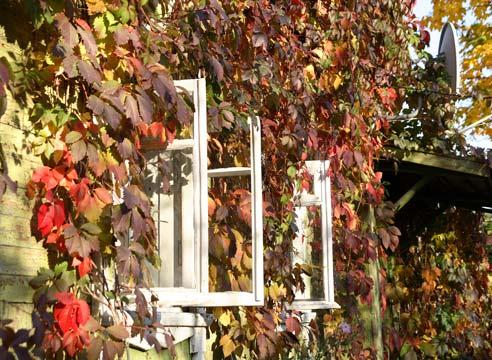 Девичий виноград, Parhenocissus
