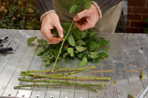 Подготовка черенков розы