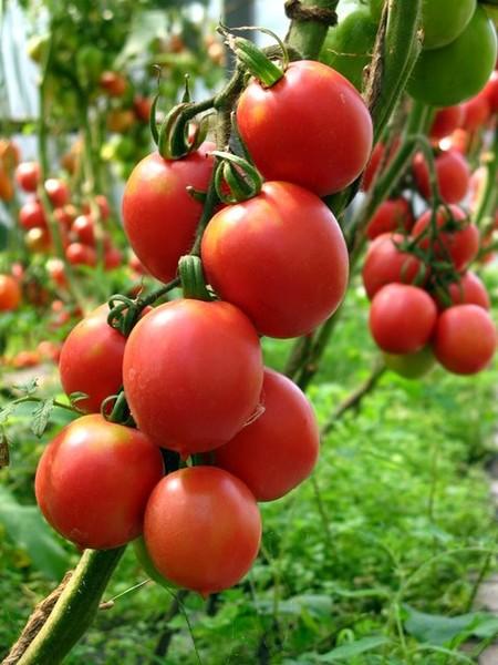 Какие сорта томатов выбрать Овощи на приусадебном участке