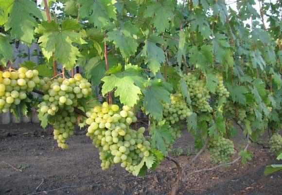 Картинки по запросу виноградный куст