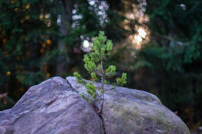 Сквозь камень дерево, живучесть, жизнь, мир, планета, растительность, фото
