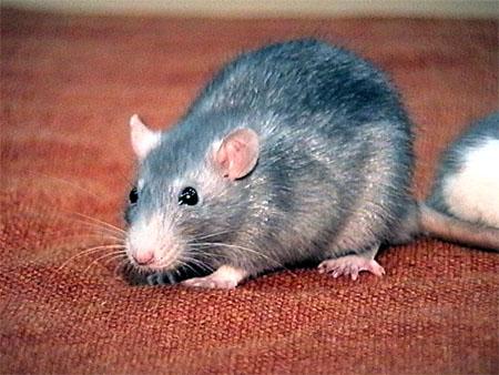 5 ужасающих фактов о крысах