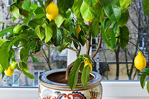 Выращивание и уход за лимонами в домашних условиях 100