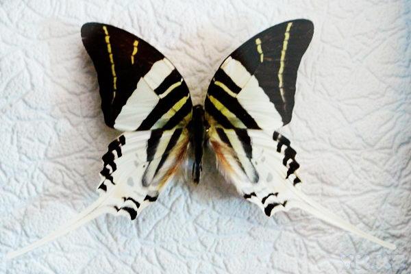 Бабочки.     25 невероятных фактов из жизни насекомых