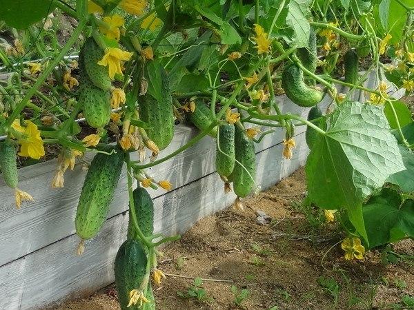 Огурцы к маю и огуречные секреты сбора семян