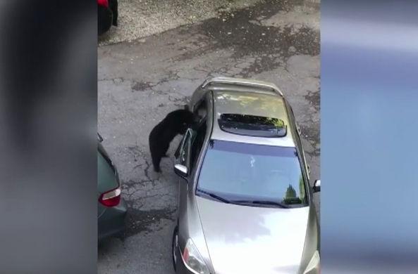 Медвежата пробрались в машину, чтобы поживиться едой