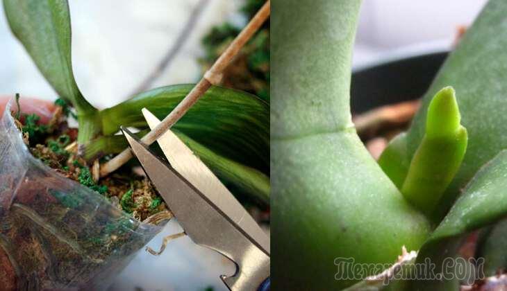 Удалять или не удалять: что делать со стрелкой, когда орхидея отцвела