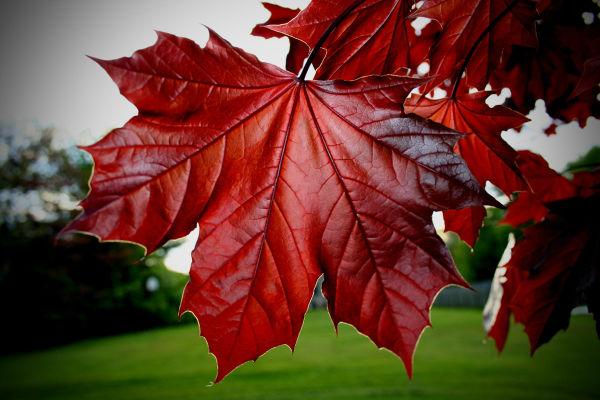Избавиться от морщин и темных пятен поможет экстракт листьев клена! Научно доказано