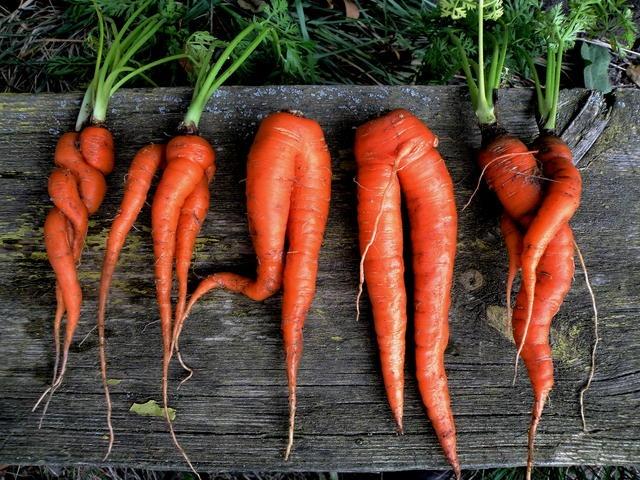 Кривоногая морковка. Фото взято с сайта dachka-ogorodik.ru