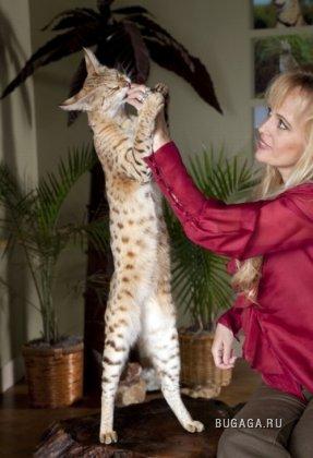 Cамый высокий кот в мире