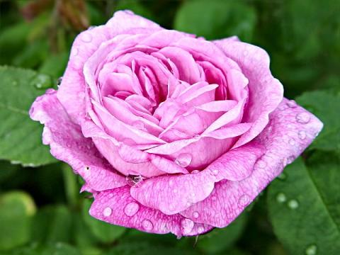Что шепчут розы по утру?