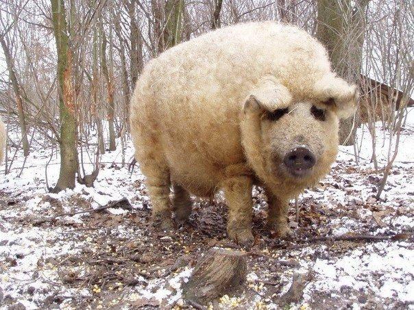 Мангалица -  это единственная порода свиней в мире, которая сохранила шерстяной покров как у овец.