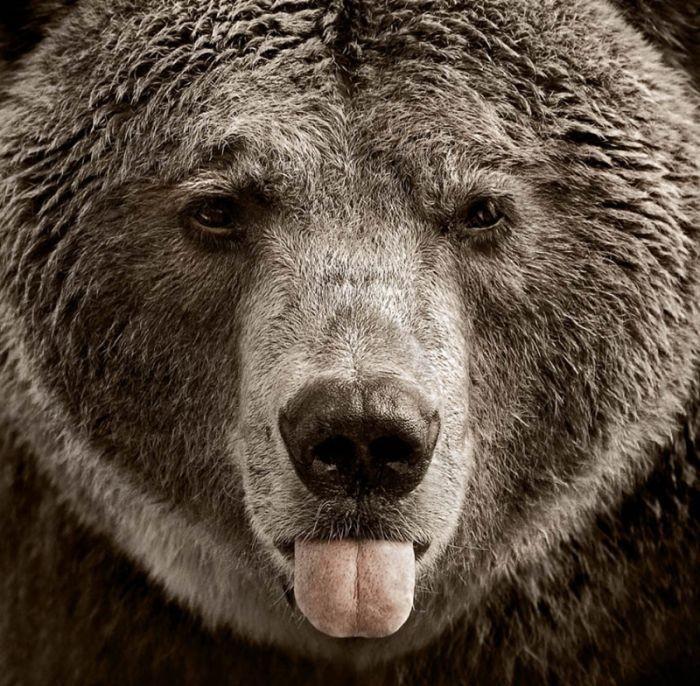 морда медведя