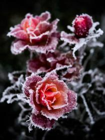Снежные лепестки..