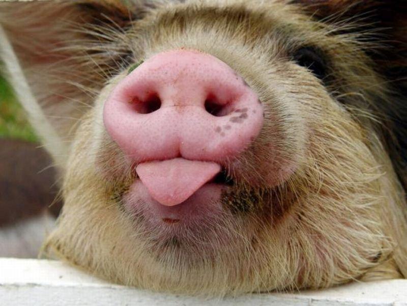 Вот почему мусульмане и евреи не едят свинину — научное обоснование