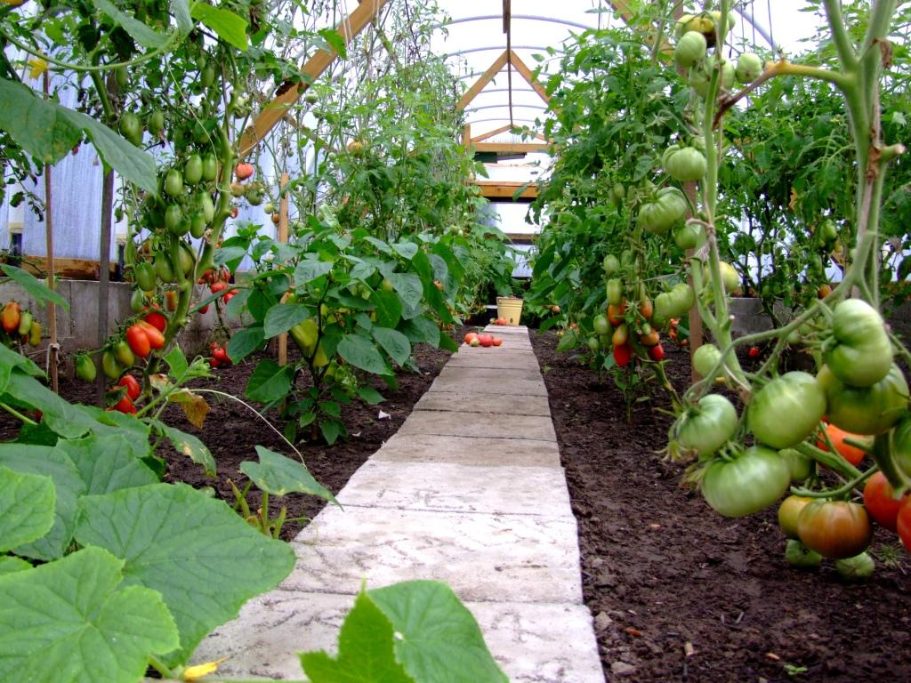 Какие помидоры лучше сажать в подмосковье в теплице 98