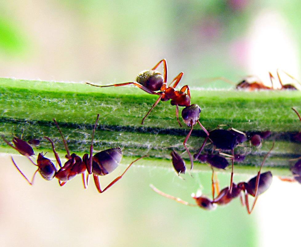 Лучшего средства от муравьев я еще не встречала
