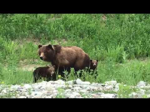 Медведица с тремя медвежатами прилегла отдохнуть на дороге