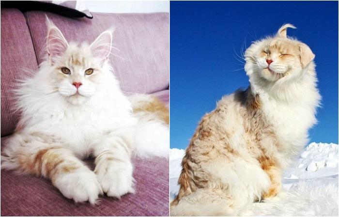 Представители породы мейн-кун являются самыми крупными среди домашних кошек.