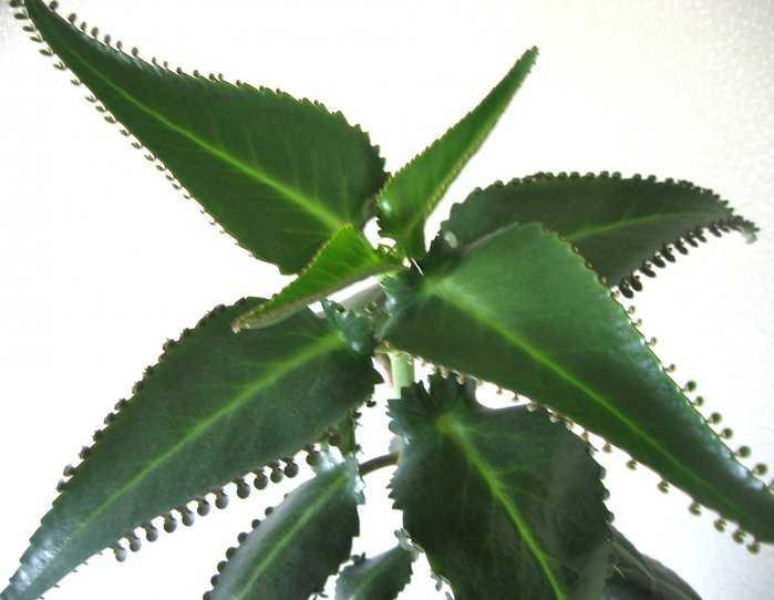 Полезное комнатное растение каланхоэ