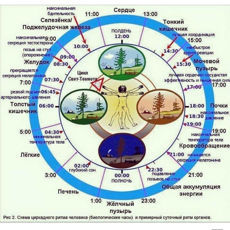 Биологические часы организма человека.