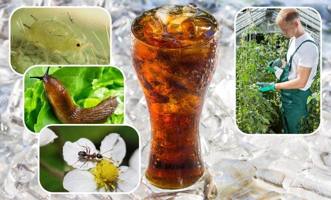 Кока-кола в саду и огороде: неожиданные способы применения напитка