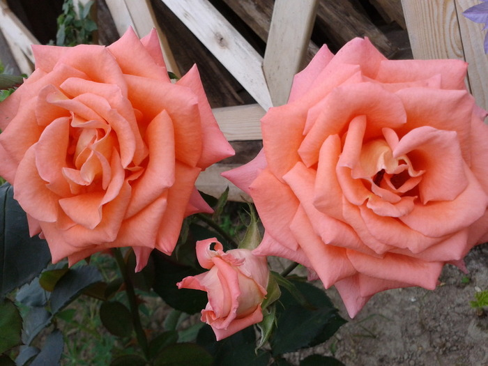 особенность том, самая красивая роза отзывы человек никогда занимался