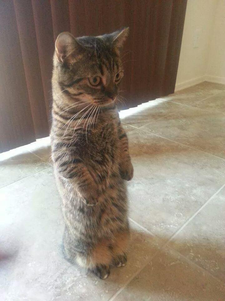 15 забавных котов, которым очень нравится стоять животные, кот, стойка на задних лап
