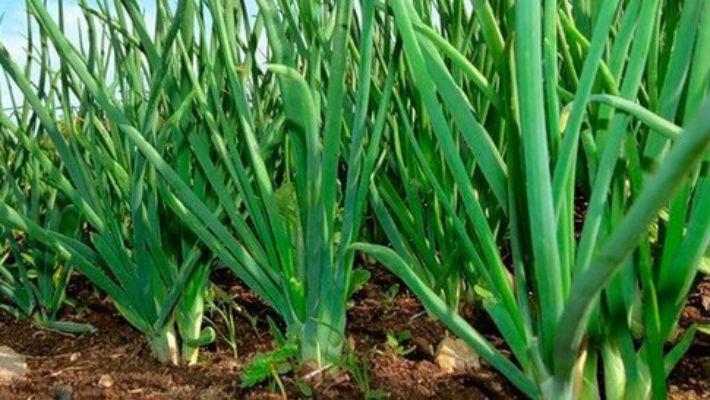 Как вырастить лук на гребнях