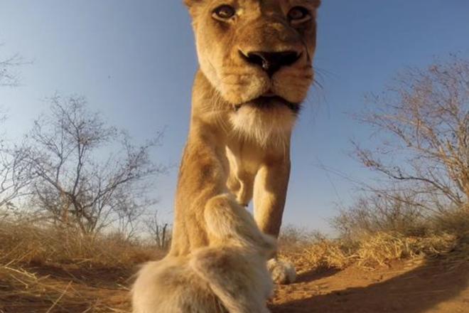 Львица украла камеру и сняла свое кино с погоней и приключениями