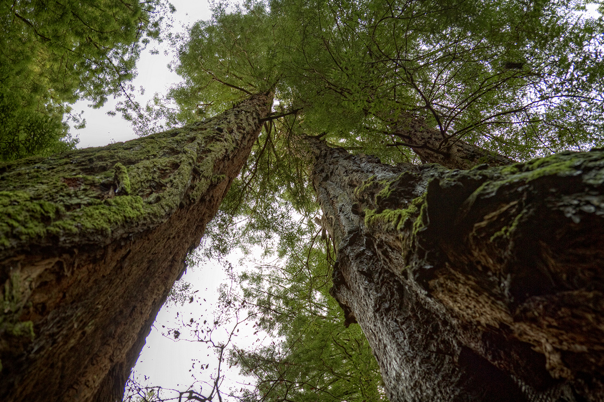 1 место. Секвойя вечнозелёна. Семейство: Кипарисовые. Высота: более 110 м. Самый высокий представитель секвойи вечнозелёной — «Гиперион» — находиться в национальном парке Редвуд и достигает 115,61 м в высоту. (Jonathan)