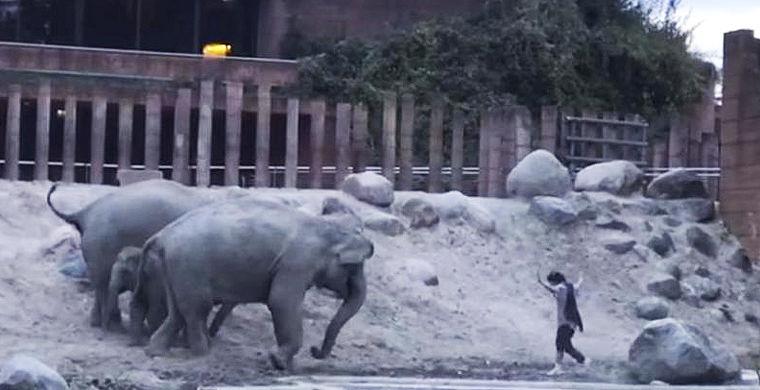 Посетитель зоопарка запрыгнул в вольер к слонам и разозлил их