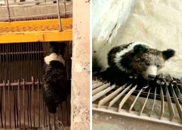 Косолапый в Китае свалился в воду и застрял в конструкциях ГЭС. Спасать пришлось с помощью экскаватора.