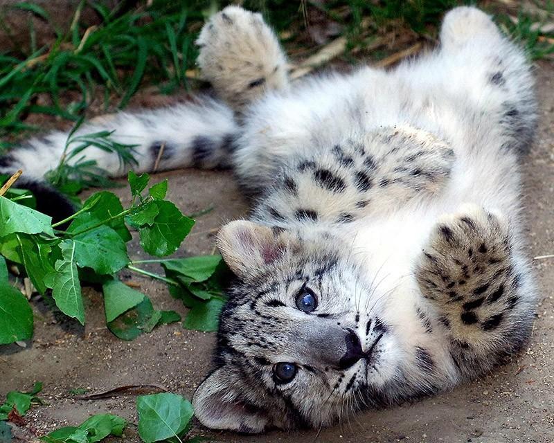 Котята хищных кошек такие мимими
